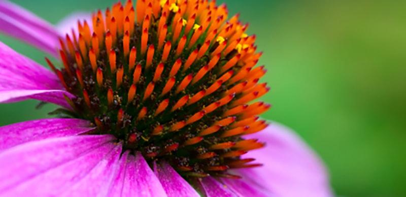 Panacea Flower Image